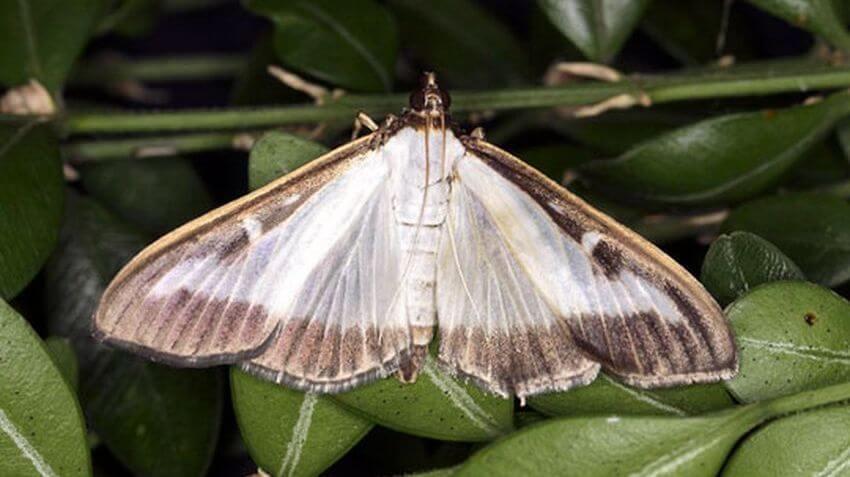 Бабочка самшитовой огневки