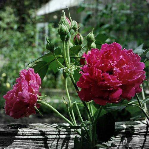 Плетистые розы в вертикальном озеленении.