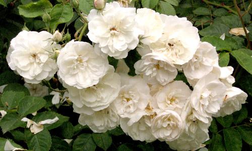 Старые мелкоцветковые розы – Рамблеры