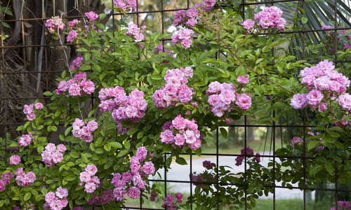 Плетистая роза на ограде