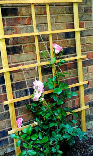 Розы – лианы высаживают вдоль стен