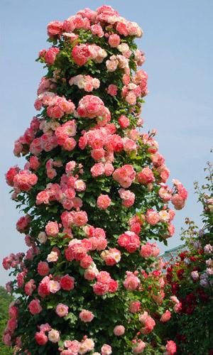 Плетистая роза на стволе дерева