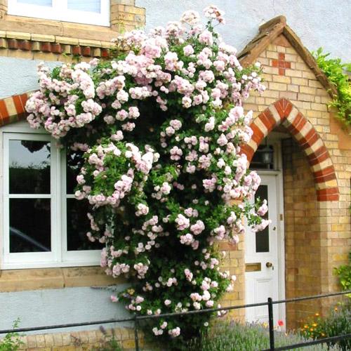 Плетистые розы декорирует вход