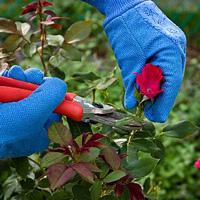 Выращивание плетистых роз. Посадка и уход.