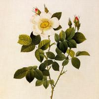 Классификция плетистых роз