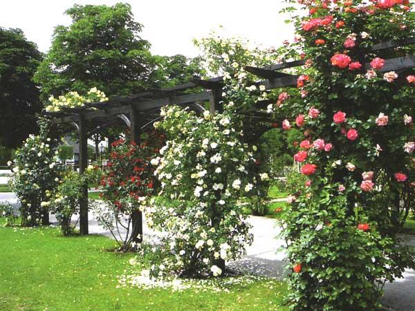 Куст вьющейся розы
