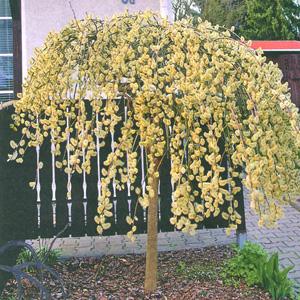 ива козья (Salix caprea) Pendula